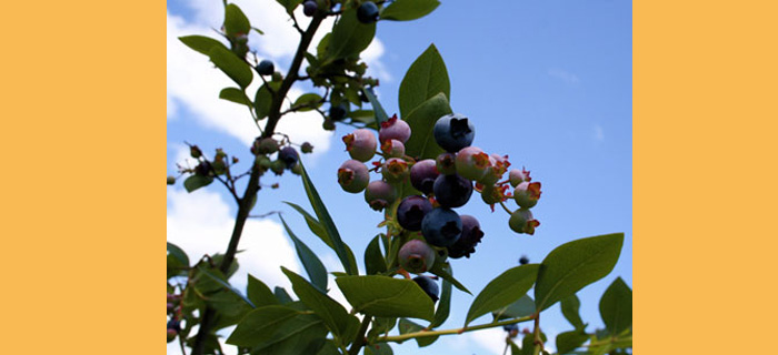 Derryvilla Blueberries