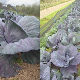 Cabbages, The Vegetable Patch - Ballymaloe Cookery School