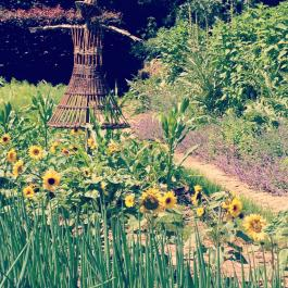 Sunflowers, The Kitchen Garden - Ballymaloe Cookery School