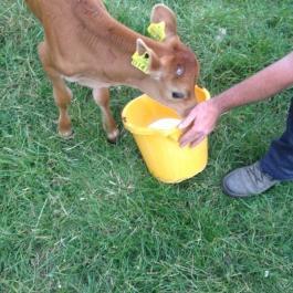 Happy healthy cows - Ballymaloe Cookery School