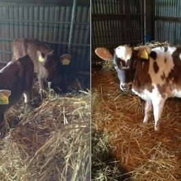 Happy grass-fed cows - Ballymaloe Cookery School