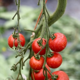 Tomatoes on the vine  at Ballymaloe Cookery School