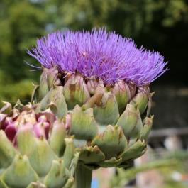 Globe Artichoke, The Kitchen Garden - Ballymaloe Cookery School