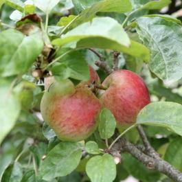 Apples, The Ornamental Fruit Garden - Ballymaloe Cookery School