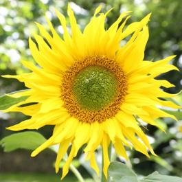 Sunflower, The Kitchen Garden - Ballymaloe Cookery School