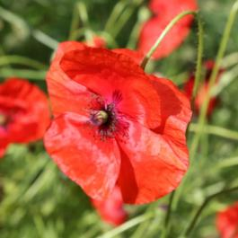 Poppies, The Kitchen Garden - Ballymaloe Cookery School