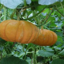 Pumpkins - Ballymaloe Cookery School