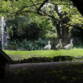Muscovy Ducks, Old Pleasure Garden - Ballymaloe Cookery School