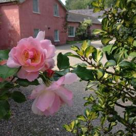 Roses Still In Bloom - Ballymaloe Cookery School