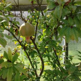 Pomegranate Fruit In The Glasshouse - Ballymaloe Cookery School