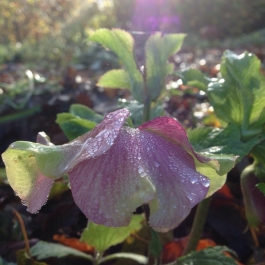 Our first Hellebore in The Ornamental Fruit Garden - Ballymaloe Cookery School