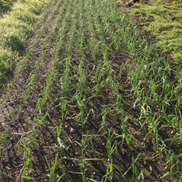 Onions growing in the No Dig area of the Vegetable Field - Ballymaloe Cookery School
