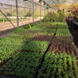 Young salad and herb plants in modules in the glasshouses - Ballymaloe Cookery School