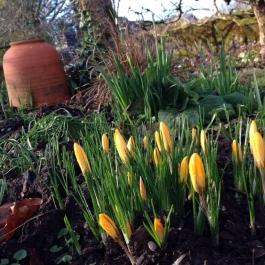 Crocuses herald Spring's arrival! - Ballymaloe Cookery School
