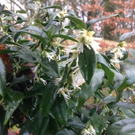 Sarococca confusa with its delicate scent - Ballymaloe Cookery School