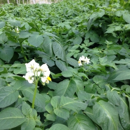 Flowers on the potato plants! Not long to harvest time - Ballymaloe Cookery School