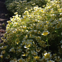Poached egg plant (limnanthes douglasii) a perfect plant for attracting bees and hoverflies to beat the aphids - Ballymaloe Cookery School