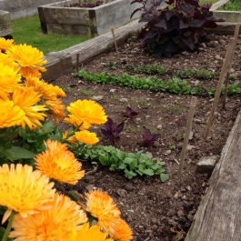 Calendula officinalis (Pot Marigold) with salad sowings as part of the Slow Food School's Education programme - Ballymaloe Cookery School