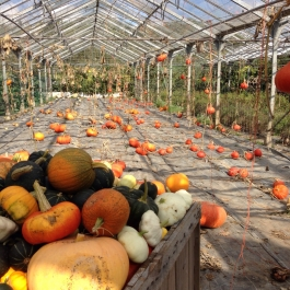 Pumpkin harvest in the glasshouses - Ballymaloe Cookery School