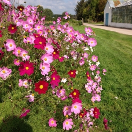 Pretty in Pink - Cosmos flowering outside the glasshouses - Ballymaloe Cookery School