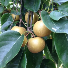 Chinese or Nashi Pears in the Kitchen Garden - they resemble a pear but taste like an apple - Ballymaloe Cookery School