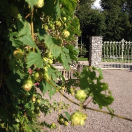 Humulus lupulus 'Hops' grown against the student cottages at Ballymaloe Cookery School