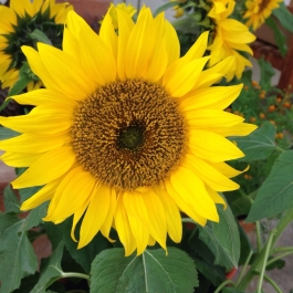 Radiant sunflowers in the conservatory - Ballymaloe Cookery School