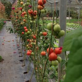 The last of the tomato crop in the glasshouses - Ballymaloe Cookery School