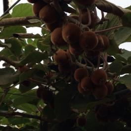 A bountiful crop of Kiwi fruit in the glasshouses - Ballymaloe Cookery School