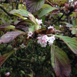 Delicately scented Vibernum bodnantense 'Dawn' in Lydia's Garden - Ballymaloe Cookery School