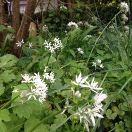 Wild Garlic 'Allium ursinum' or Ramsons used to make pesto - Ballymaloe Cookery School