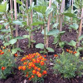 Broad beans tower above the French marigolds (Tagetes patula) in the Kitchen Garden - Ballymaloe Cookery School