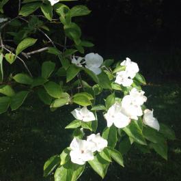 Cornus Kousa tree in flower in the Old Pleasure Garden - Ballymaloe Cookery School
