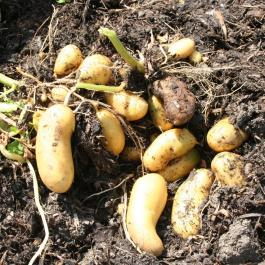 No dig Charlotte potatoes, tubers develop in surface compost, roots go into undisturbed soil below: