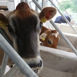 Jersey Cows - Ballymaloe Cookery School