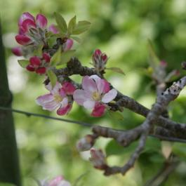 Apple Blossom - The Ornamental Fruit Garden at Ballymaloe Cookery School