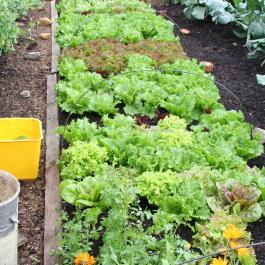 Lettuce before picking
