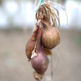 Organic Onions - Ballymaloe Cookery School