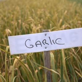 Garlic, The Vegetable Patch - Ballymaloe Cookery School
