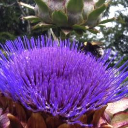 A Happy bumblebee on an Artichoke flower!