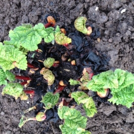 Rhubarb growing at Ballymaloe Cookery School