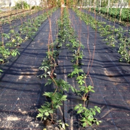 Tomato plants in the glasshouse