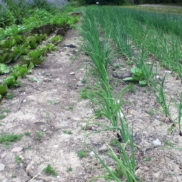 Lettuces and spring onions in the 'no-dig' area.