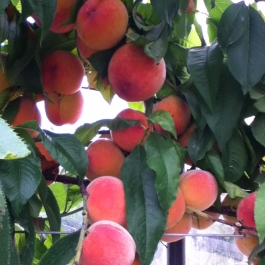 Juicy Peaches ready for harvest in the Glasshouse.