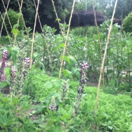 Lupins, Runner Beans and Broad beans in the Kitchen Garden.