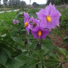 Potato 'Blue Danube'